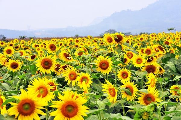 Màu xanh cho sự sống và màu vàng hi vọng của loài hoa hòa quyện vào nhau tạo nên một không gian yên tĩnh, dạt dào.