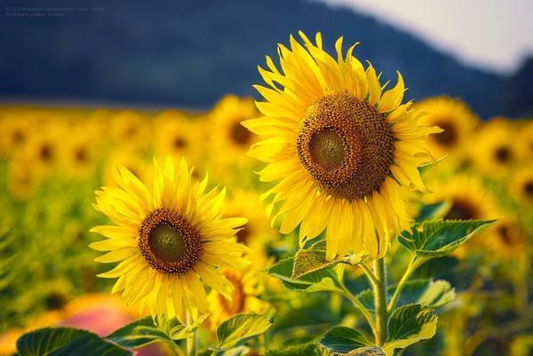 Khám phá vườn hoa hướng dương khoe sắc tại Đồng Nai