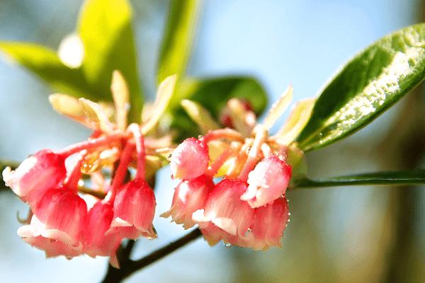 Hoa chỉ nở rộ trong thời gian ngắn ngủi khoảng 1 tháng rồi tàn.