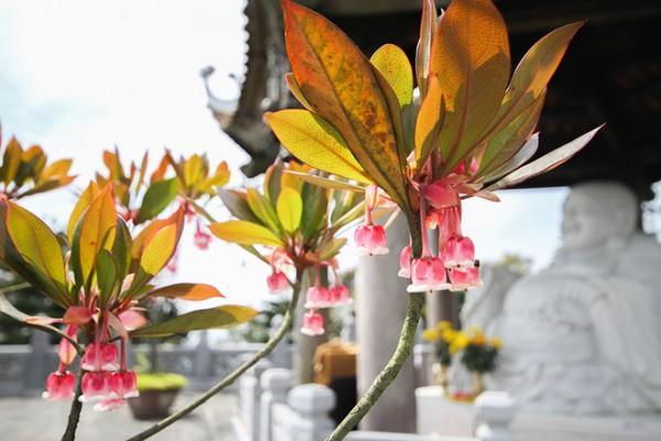 Độc đáo mùa hoa đào chuông tại Bà Nà Hills