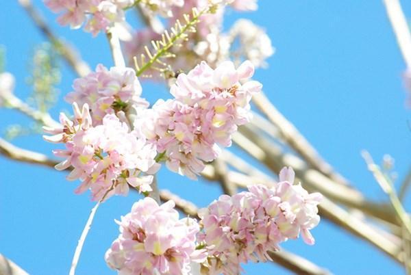Đường hoa anh Đào tuyệt đẹp ở Vũng Tàu