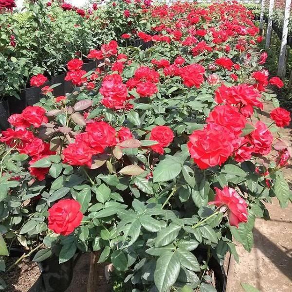 Nơi đây còn lưu giữ được khoảng 50 giống hoa hồng: hồng nhung đỏ thắm, mượt mà; hồng Gờ-rơ-da màu tím sen, ...