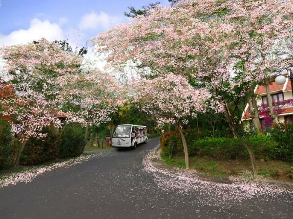 Vé máy bay đi Sài Gòn ngắm rừng hoa anh đào ở Vũng Tàu