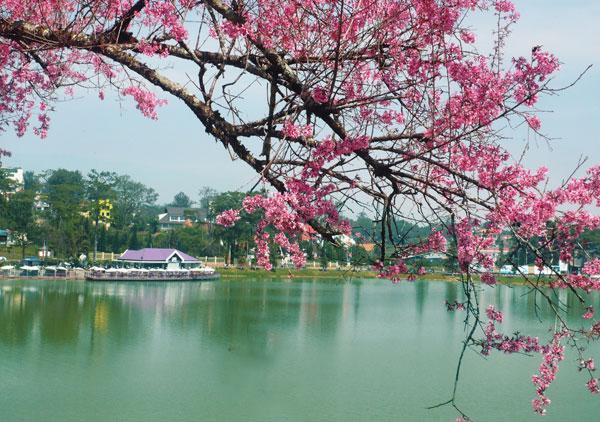 Khung cảnh thơ mộng của hồ Xuân Hương với sắc hoa mai anh đào