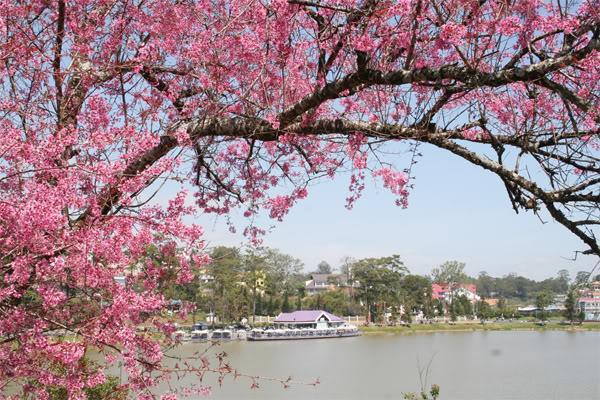 Hoa Mai Anh Đào dọc hồ Xuân Hương