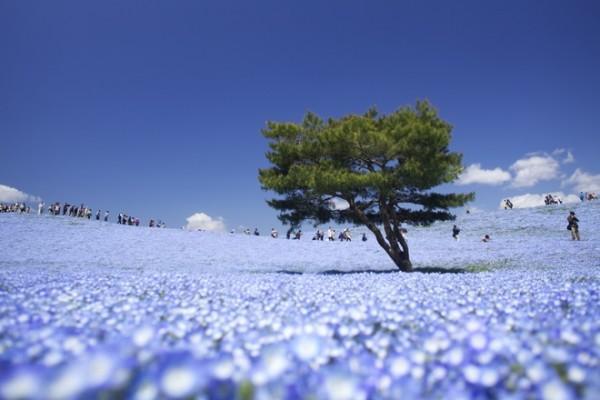 Nemophila có hình dáng tuyệt đẹp, với những sắc hoa khác nhau từ xanh đến tím