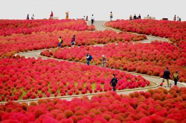 Mỗi ngọn đồi ở công viên Hitachi đều được trồng một loại hoa. Chúng thay phiên nhau nở rực rỡ vào mỗi mùa