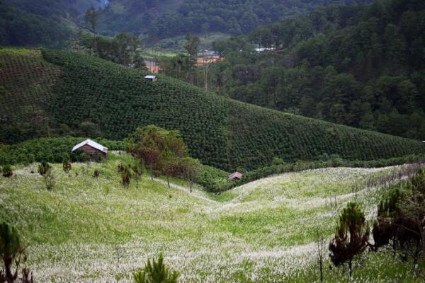 cánh đồng cỏ tranh đà lạt