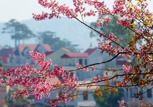 Mai Anh Đào nở rộ ven bờ hồ Xuân Hương