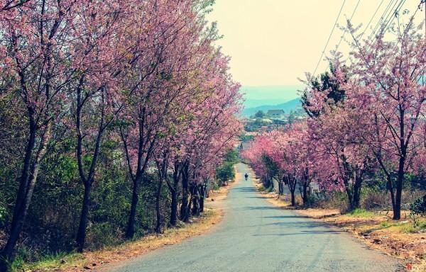 Đường Trần Hưng Đạo, con đường hoa Mai Anh Đào nở rực hai bên đường dọc theo dãy biệt thự cổ Cadasa