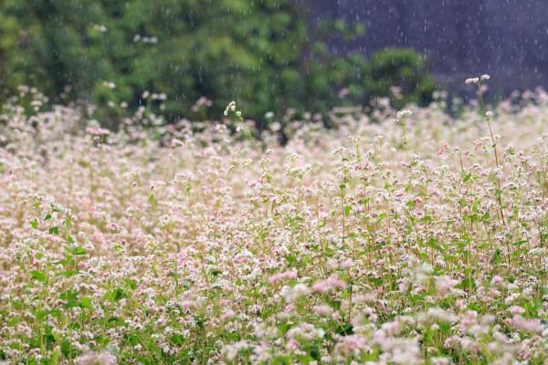 Vườn hoa tam giác mạch Đà Lạt
