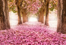 Thích thú với những hình ảnh tuyệt đẹp về hoa anh đào Nhật Bản