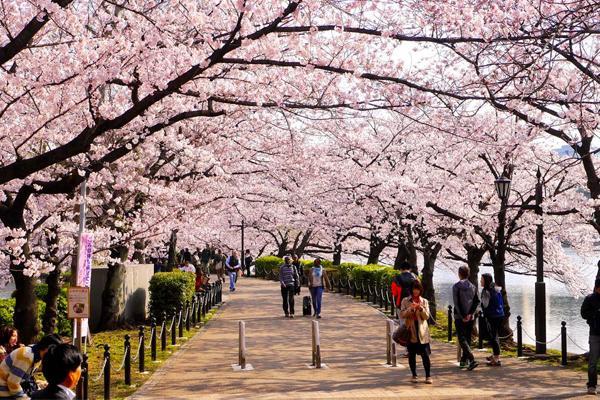 Hoa anh đào trong văn hóa Nhật Bản
