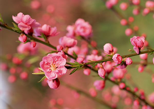 Jetstar pacific nhận vận chuyển hoa mai, hoa đào dịp tết