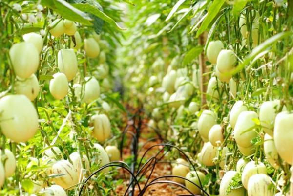Vườn dưa pepino sãi trĩu quả, hấp dẫn du khách khi đến với Đà Lạt