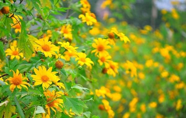 Một mùa hoa dã quỳ ở Ba Vì lại đến vào cuối tháng 10 trở đi