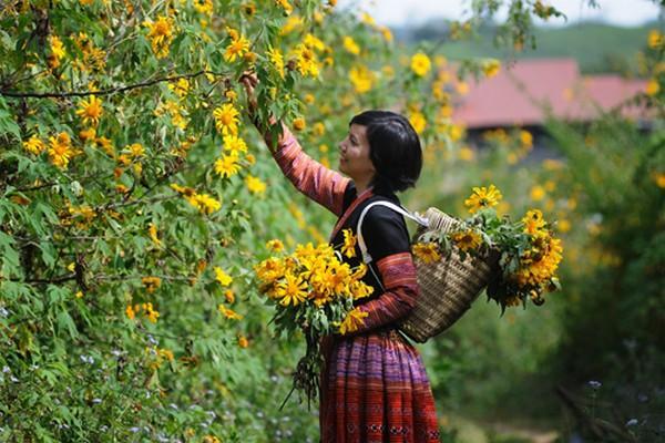 Săn hoa dã quỳ nở dọc miền đất nước