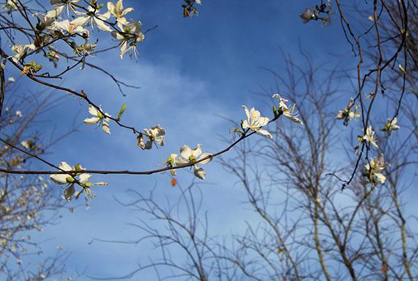 Đà Lạt mùa hoa ban