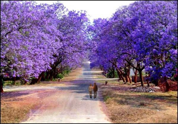 Vé máy bay đi Đà Lạt mãi mê giữa màu hoa phượng tím