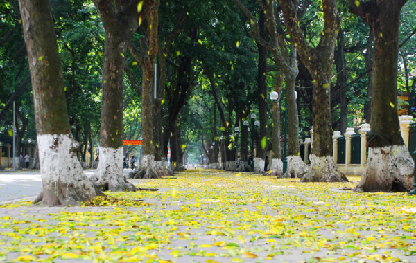Hà Nội cuối mùa xuân 'trải' lá vàng
