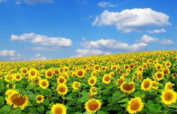 Đồi hoa hướng dương