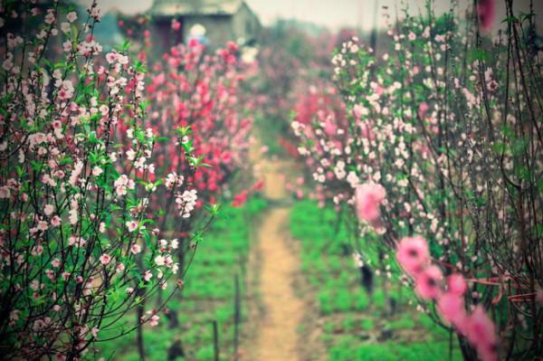 Những làng hoa xuân đẹp ngẩn ngơ