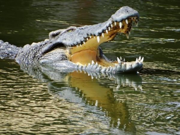 Những chú cá sấu có thể khiến bạn thót tim