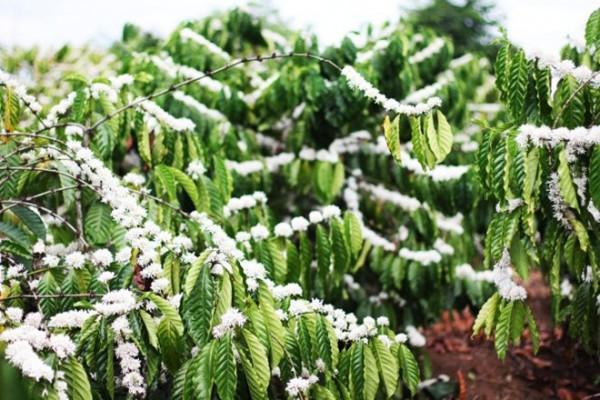 Những bông hoa như tuyết phủ trắng trên cành