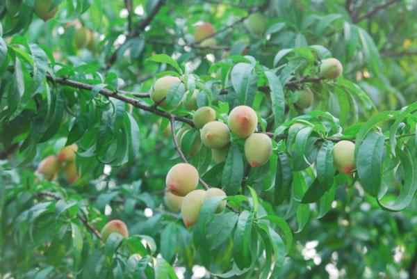 Đào mận Mộc Châu mùa thu hoạch