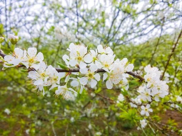 Hoa mận nở ở vùng Tây Bắc