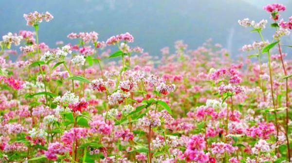 Ngập tràn sắc hoa tại thung lũng hoa hồ Tây