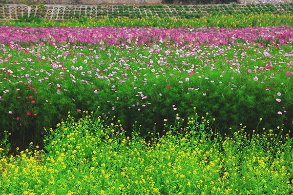 Thung lũng hoa Hồ Tây thiên đường chụp ảnh mới tại Hà Nội