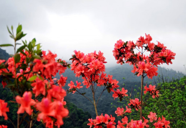 Vé máy bay đi Hà Nội ngắm hoa Đỗ Quyên Sapa