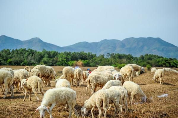 Đồng cừu suối Nghệ1
