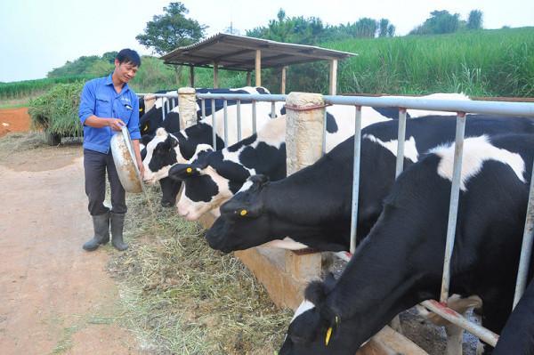 Nông trường bò sữa Mộc Châu