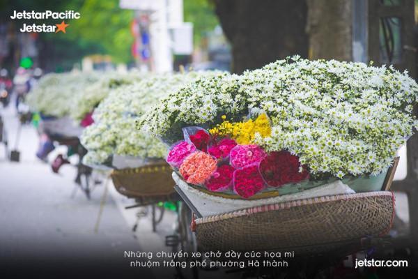 Đặt vé máy bay đi Hà Nội chiêm ngưỡng mùa Cúc Họa Mi