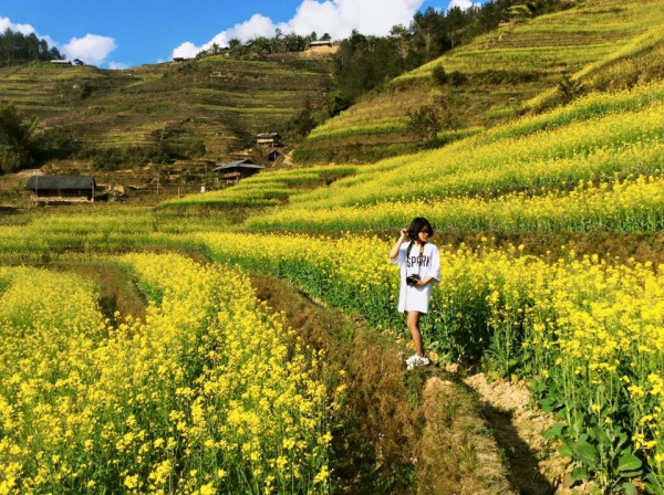 Trồng Hoa Cải Trên Ruộng Bậc Thang – Lễ Hội Mùa Đông Sapa Hoa Cải