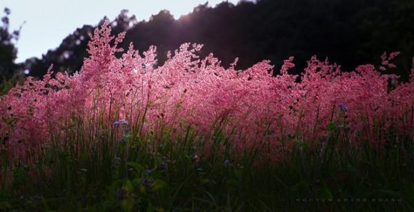 cỏ hồng 2