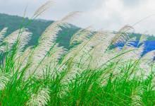 Book vé máy bay đến với cánh đồng cỏ lau Quãng Ngãi