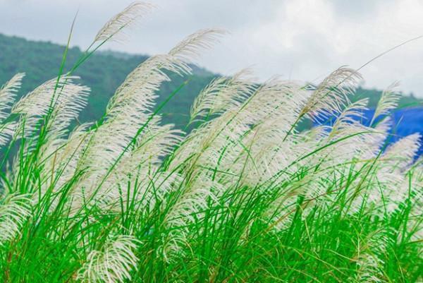 cỏ lau3