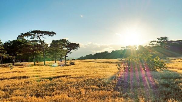 Lúa chín vàng trên nương tại vùng đất Pleiku