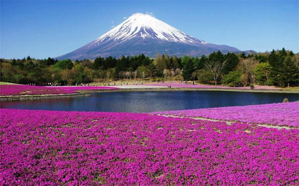 Cánh đồng hoa Shibazakura