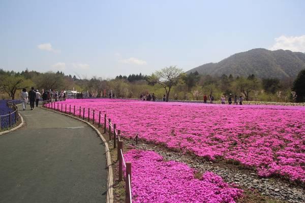 Cánh đồng hoa Shibazakura1