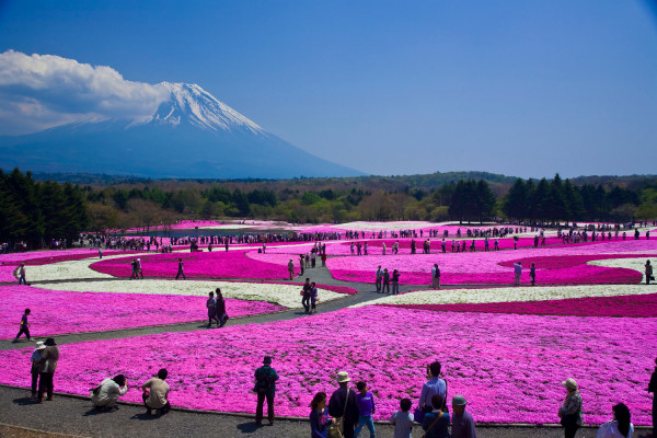 Cánh đồng hoa Shibazakura2