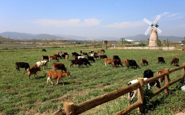 Trang trại bò sữa organic