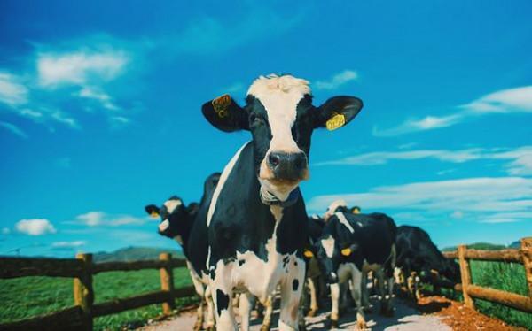 Trang trại bò sữa organic4