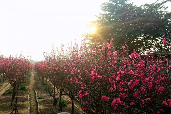 Làng hoa Nhật Tân.