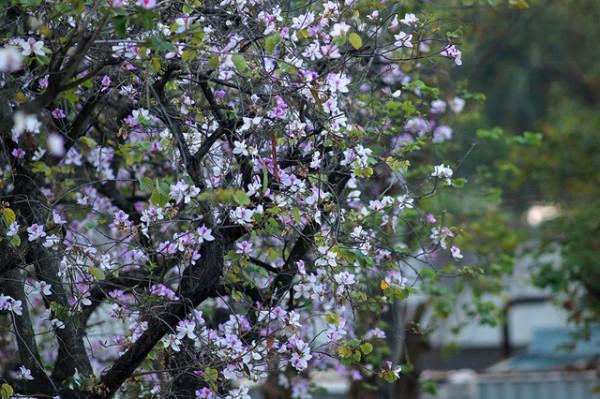 Lễ hội hoa Ban Sơn La2