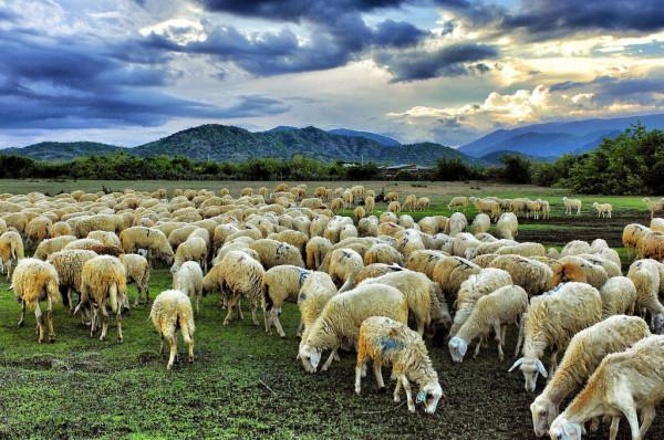 Nông trại cừu Long Hải Vũng Tàu.