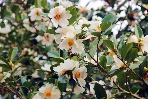 hoa Sở